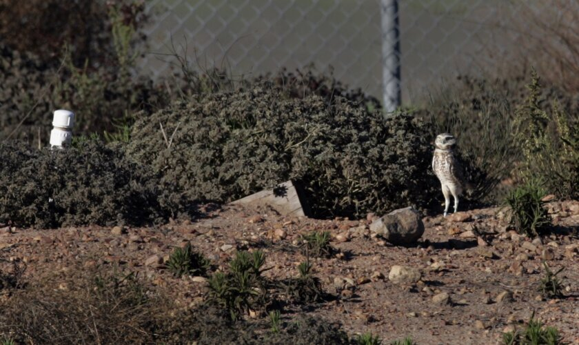 A burrowing owl stands outside the wood-sided hole into the ground he uses for a nest. The artificial nesting area for the owl is maintained by the Sweetwater Authority and the San Diego Wildlife Refuge.