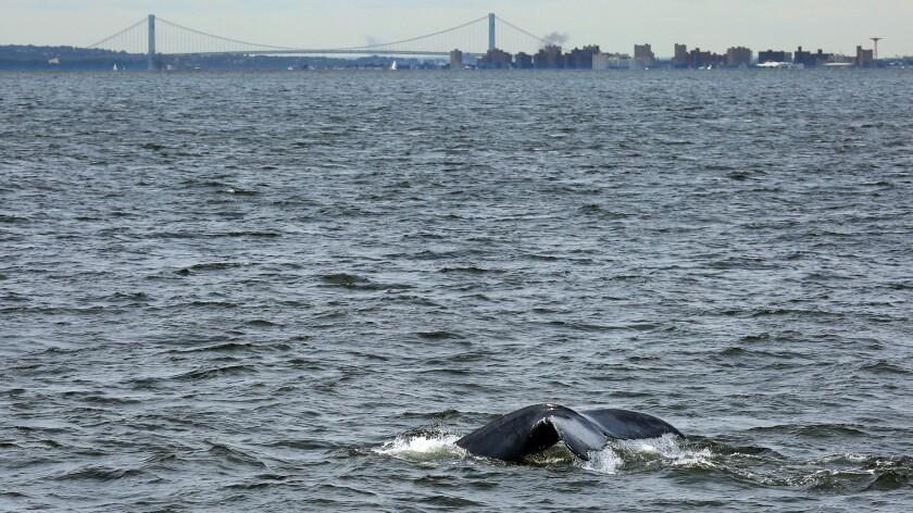 A humpback whale swims near the Verrazano-Narrows Bridge, the entrance to New York Harbor.