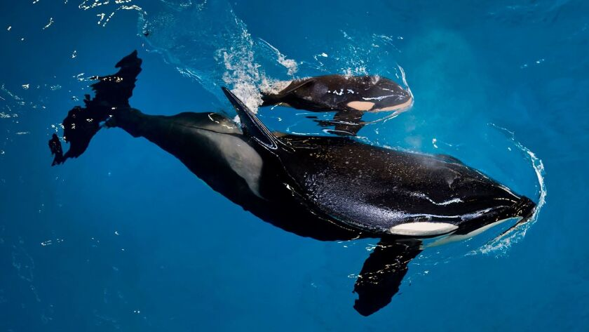 In this image provided by SeaWorld Parks & Entertainment orca Takara helps guide her newborn to the