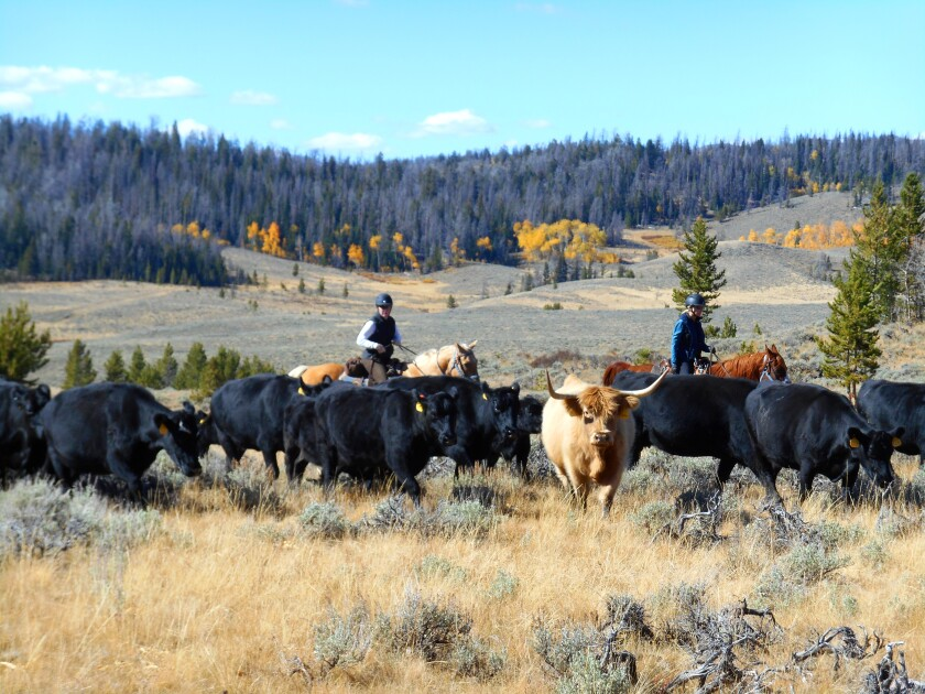 At Bitterroot Ranch in Dubois, Wyo., you can help with roundups and cattle drives.