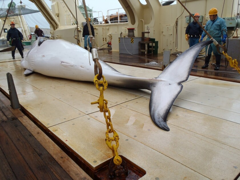 Japan says it will resume hunting minke whales, like the one seen here at the Institute of Cetacean Research. The International Court of Justice in March said Japan's claim of scientific research was a disguise for commercial whaling.