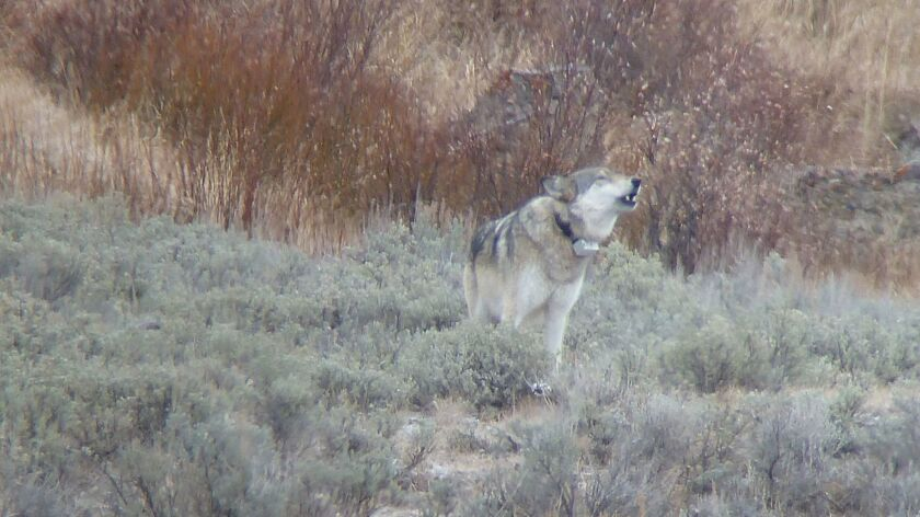 """A photograph of an O-six wolf from Soda Butte Midpoint featured in the book """"American Wolf: A True S"""