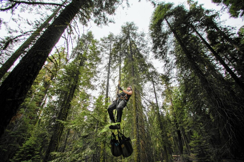 UC Berkeley biologist Wendy Baxter prepares to climb a sequoia; a team of researchers is studying the effects of drought on the huge trees.