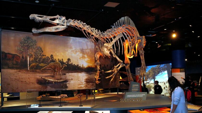 """Suchomimus, a prehistoric dinosaur with a crocodile-like skull is on display at the new """"Ultimate Dinosaurs"""" exhibit at the San Diego Natural History Museum."""