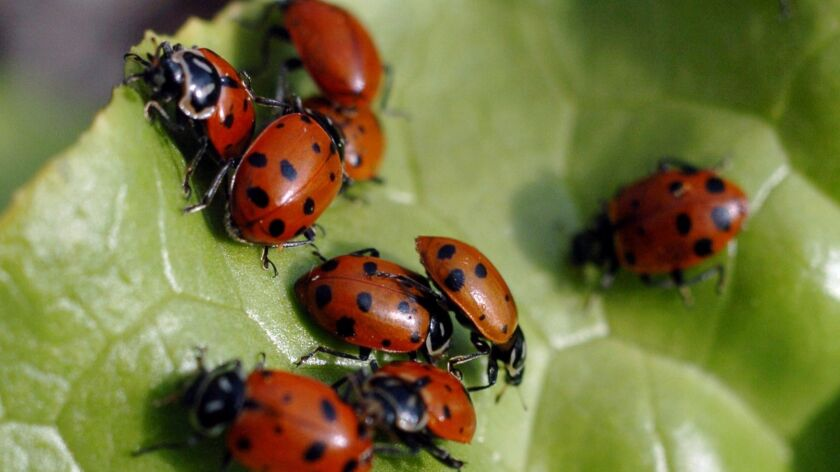 Ladybugs sit on a leaf after more than 120,000 of them were released at Children's Garden at Edna Ma