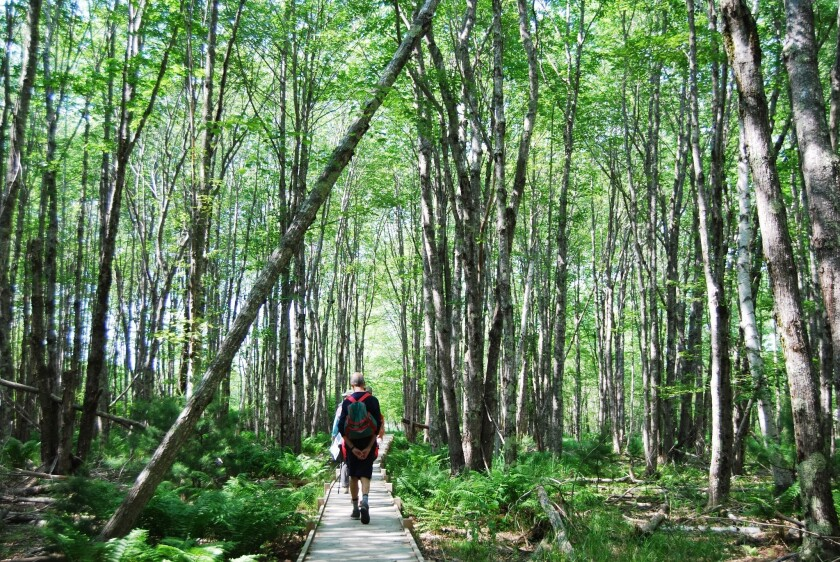 Country Walkers tour participants stroll through a dense forest on the Jessup Path in Acadia National Park in Maine.