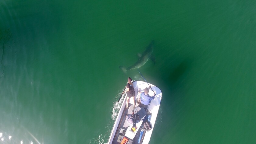 An aerial view shows a shark swimming near a boat as two people lean out to tag it.