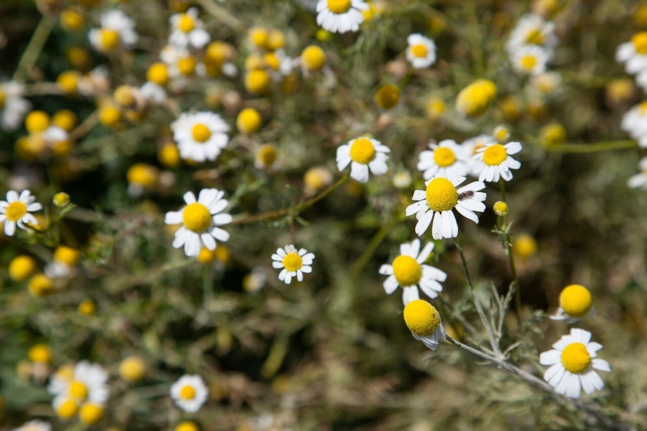 Camomile blossoms look like daisies. The fragrant flowers are grown for a host of medicinal uses and most often brewed as a tea.