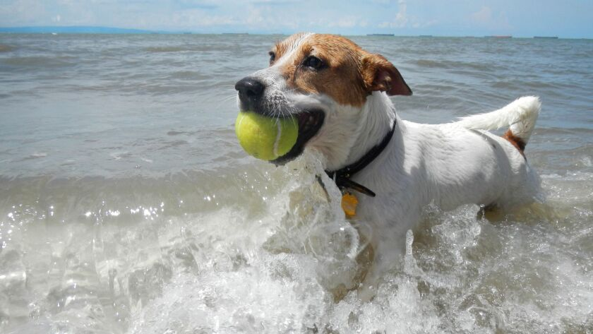 Dog catching the tennis ball in the beach.