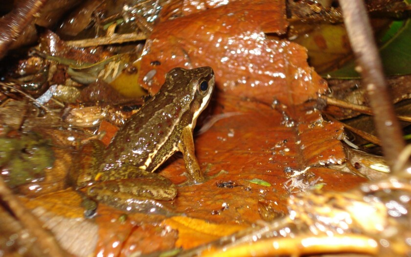 Brazilian torrent frogs use sophisticated communication system
