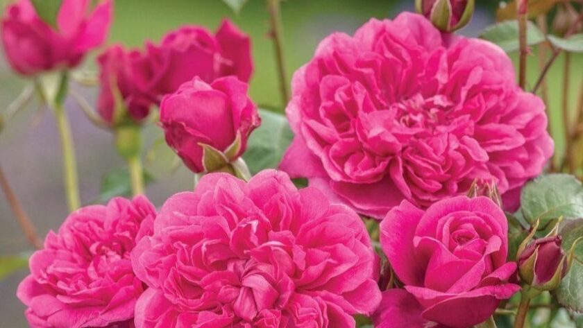 James Austin is a many-petaled tidy David Austin shrub rose with fuchsia-cerise colored blooms and a medium-light fruity fragrance.