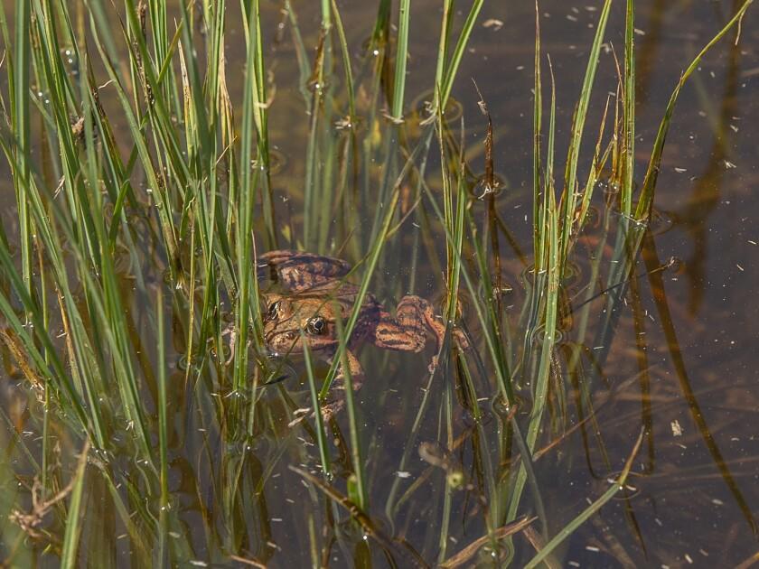 Yosemite Frogs