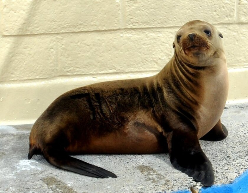 This year-old sea lion was recently rescued in Solana Beach and after 20 days of R & R with SeaWorld's animal rescue team was released miles off Mission Beach. And yet, last night it turned up one-mile inland, east of the Del Mar race track -- a baffling journey through a shopping center, past fast