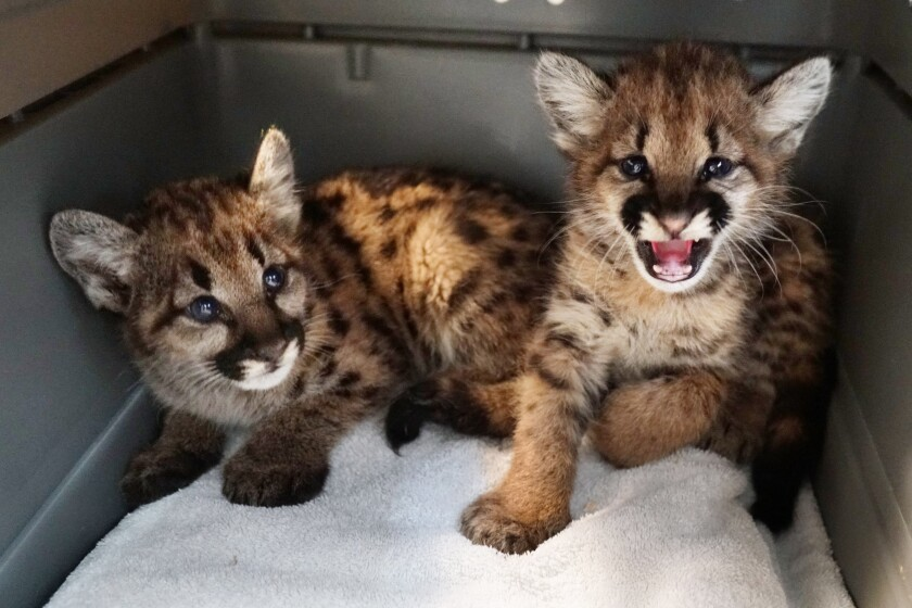 The Oakland Zoo is caring for two mountain lion cubs that were orphaned by the Zogg fire in Shasta County.