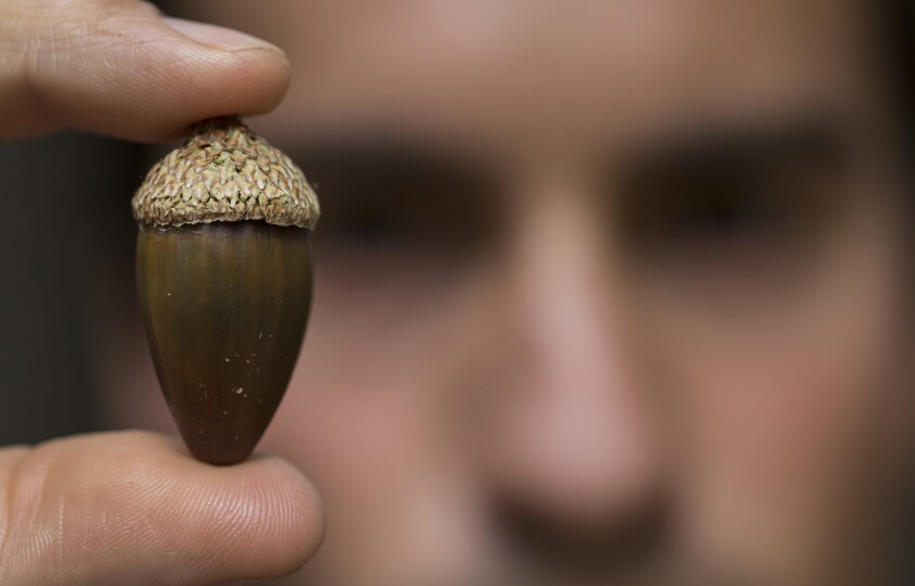 Cahuilla tribe member and plant curator Nick Hummingbird holds an acorn from an oak tree at the Autry Museum of the American West.