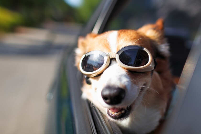 A Welsh Corgi wearing goggles sticks its head out of a car window during a car ride on a sunny day.