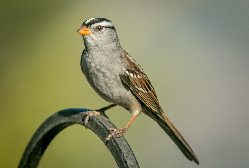 The white-crowned sparrow is a regular visitor to the region every September.