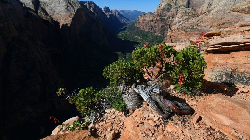 A weathered tree is seen on the summit of the Angel's Landing Trail in Zion National Park.