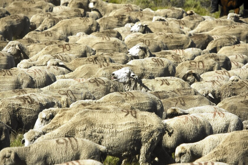 Rancher Ken Wixom's 4,000 Rambouillet ewe sheep bunch up as they are herded to a new patch of Bureau of Land Management Land in the high desert in eastern Idaho. Because of the Western drought, the BLM has cut grazing land.