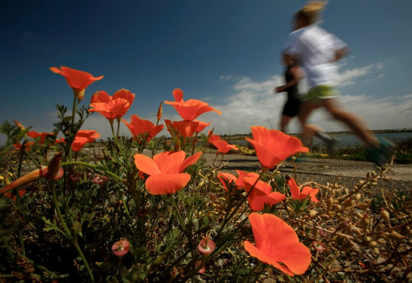 Wildflowers bloom in the Bolsa Chica wetlands. Huntington Beach is seeking permission to rezone a portion of the area for housing, a proposal that is staunchly opposed by those who say it would destroy thousands of years' worth of Native American artifacts.