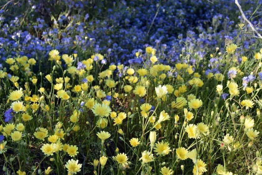 Fotografía del 7 de marzo donde aparece un manto temporal de flores silvestres en el Parque Estatal del Desierto de Anza-Borrego en el condado de San Diego, California. EFE