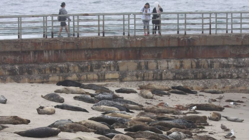 Seals have made La Jolla Children's Pool their year-round home. The City has closed the beach annually from Dec. 15 to May 15 during harbor seal pupping season