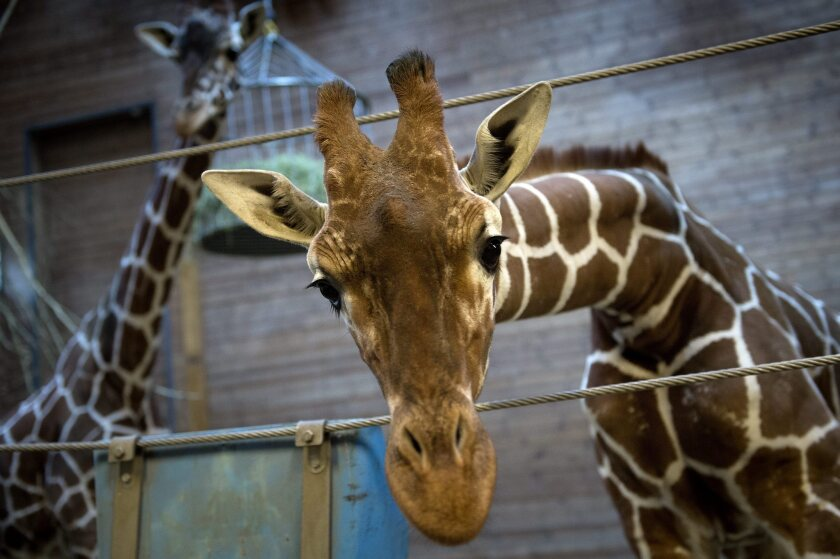 A spokesman for the Copenhagen Zoo said that the killing with a bolt gun of the 2-year-old giraffe was done to prevent inbreeding of the zoo's population.