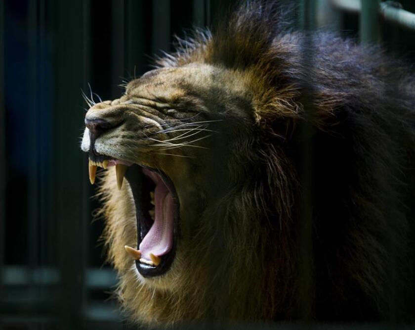 Un empleado del zoológico municipal de Tulancingo falleció hoy a consecuencia de las heridas recibidas al ser atacado por un león, informaron los servicios de emergencia del central estado mexicano de Hidalgo. EFE/Archivo