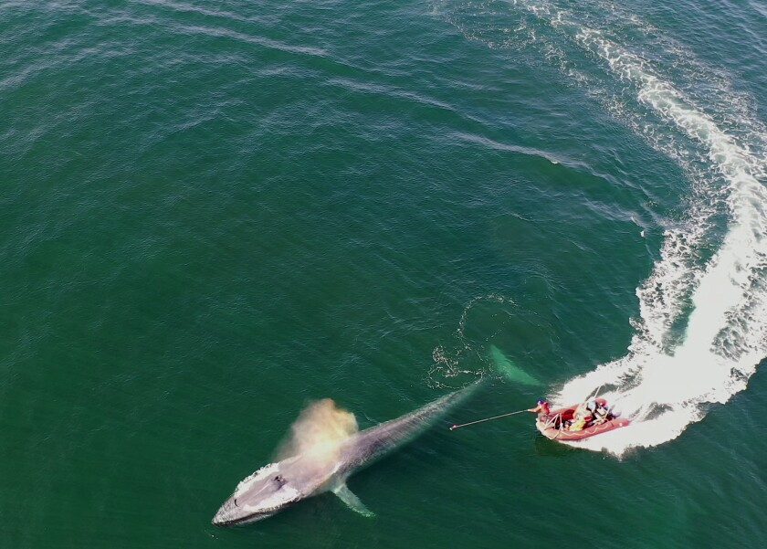 Blue whales are tagged during summer 2019 in the Eastern Pacific off central California by the study's research team.