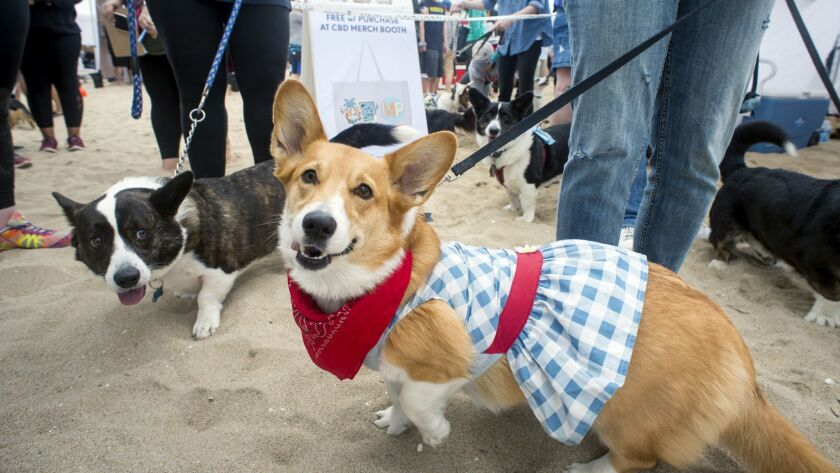 Corgi June, with owner Emily McCarthy of Loma Linda, dons a gingham skirt for the Cutest Cardigan Co