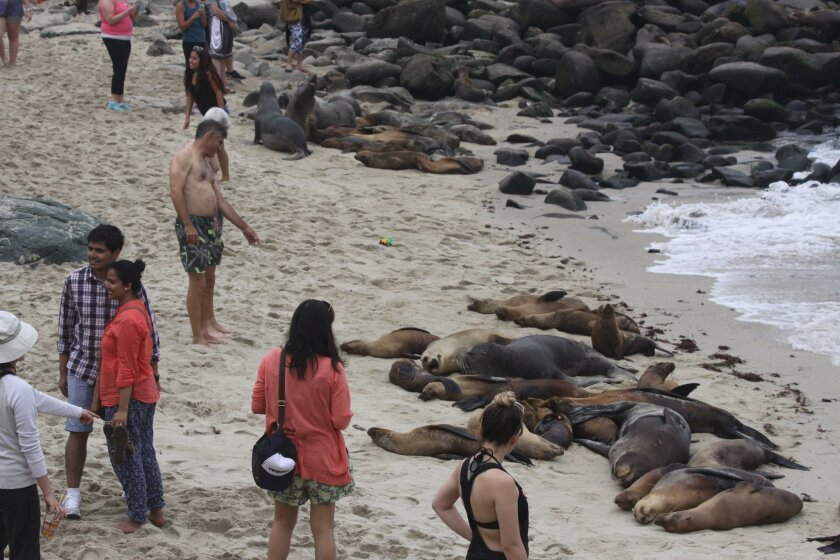 The Hanan and Associates study includes reports of people being bitten by sea lions when they get too close for the pinnipeds' comfort at La Jolla Cove.