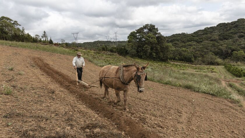 Joaquim dos Santos, 69, and his donkey Moleque prepare soil for planting organic tomatoes.