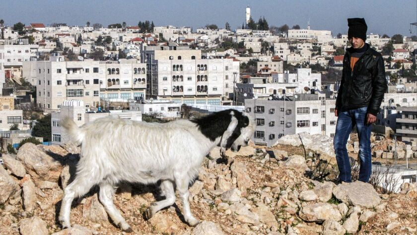 A Palestinian shepherd in West Bank city of Hebron, with the Israeli settlement of Givat Harsina in the background surrounded by Palestinian residences, on Feb. 5, 2017.