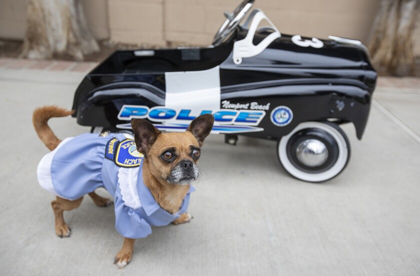 Bubbles, a Chihuahua-pug mix, has been tapped as the mascot of the Newport Beach Animal Shelter.
