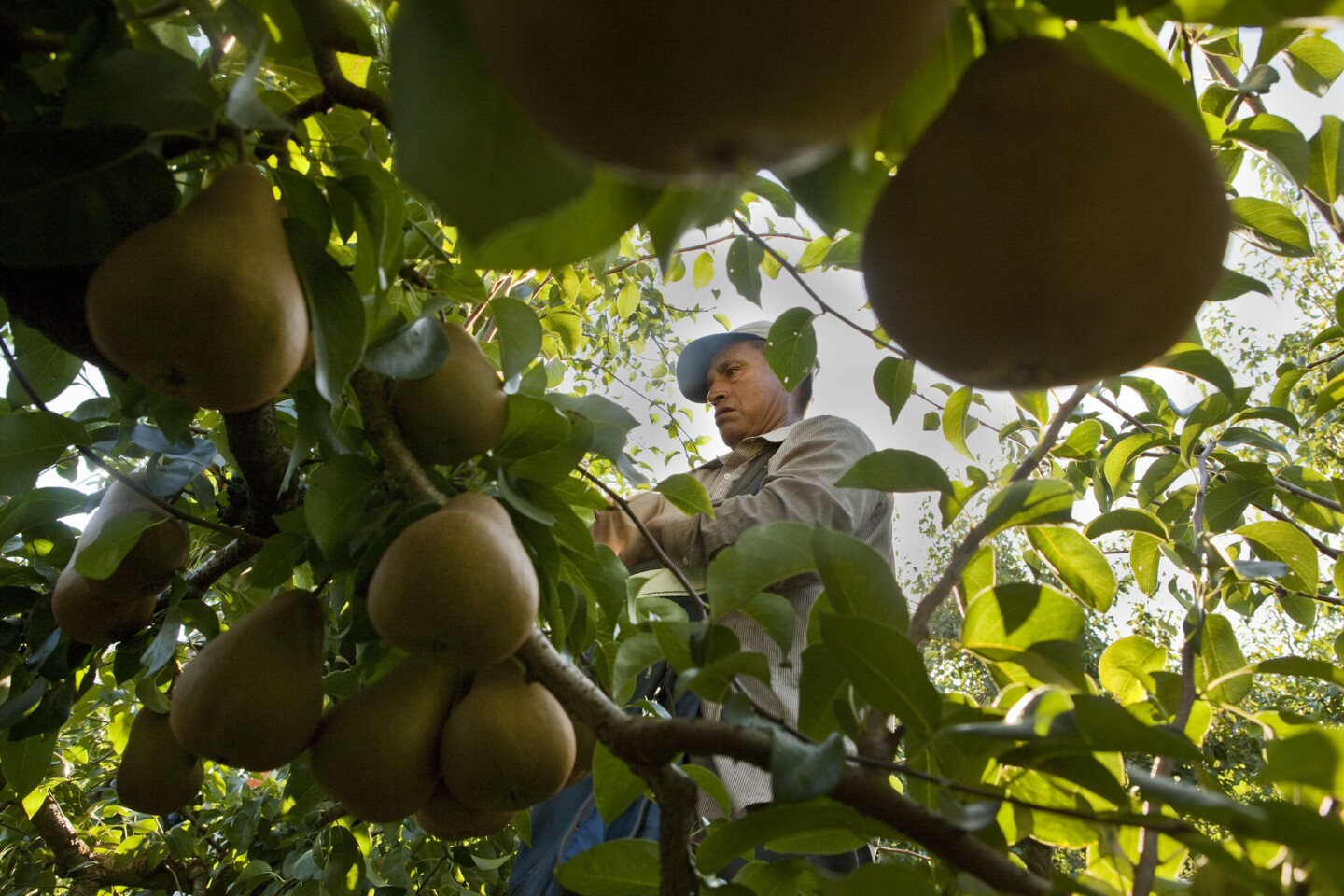 Balancing on a ladder, a picker works the tops of pear trees early in the morning on a Grand Island orchard.