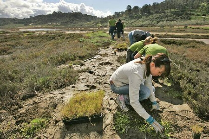 Jen Johnson of Solana Beach and other volunteers from Solana Beach Presbyterian Church planted salt grass yesterday at the San Dieguito River Park east of Del Mar. (Howard Lipin / Union-Tribune)