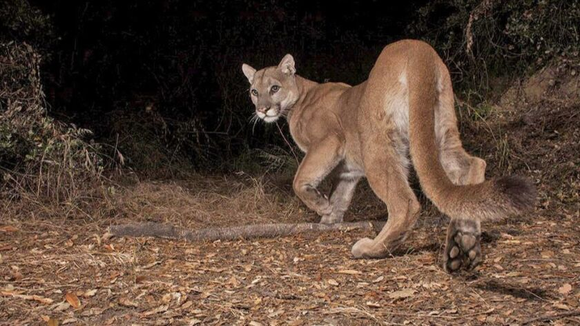 9a849c13c393f New mountain lion seen in Verdugo Mountains after death of P-41 ...