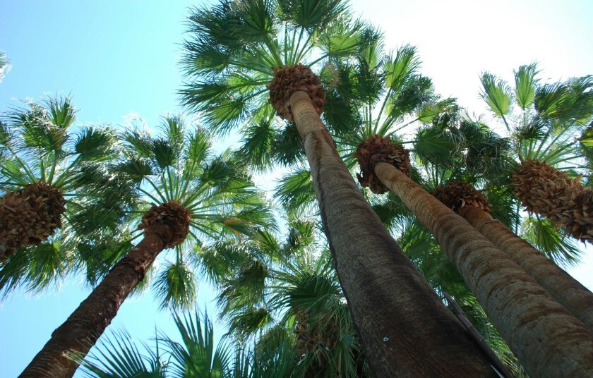 Palm trees sway in the breezes at Two Bunch Palms Resort & Spa.