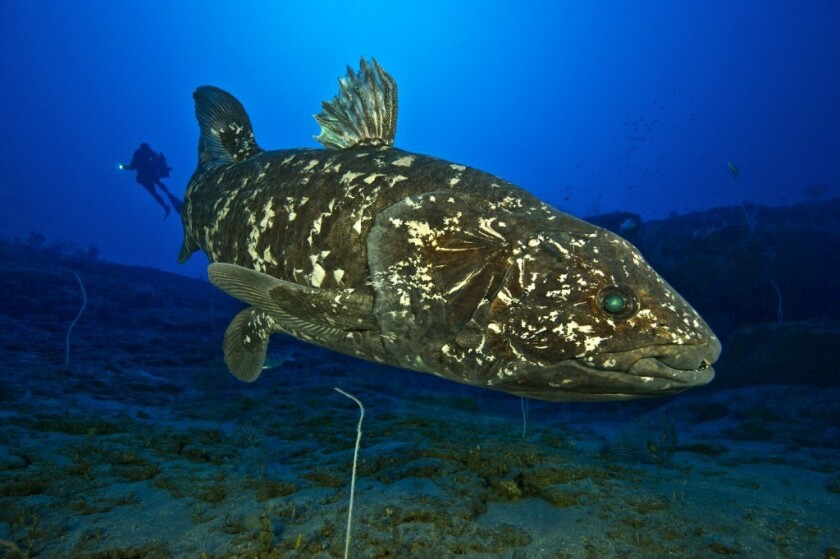 'Living fossil' or no, this strange, rare fish has a lung