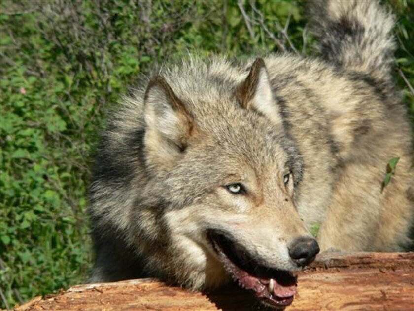 Photograph of a wolf