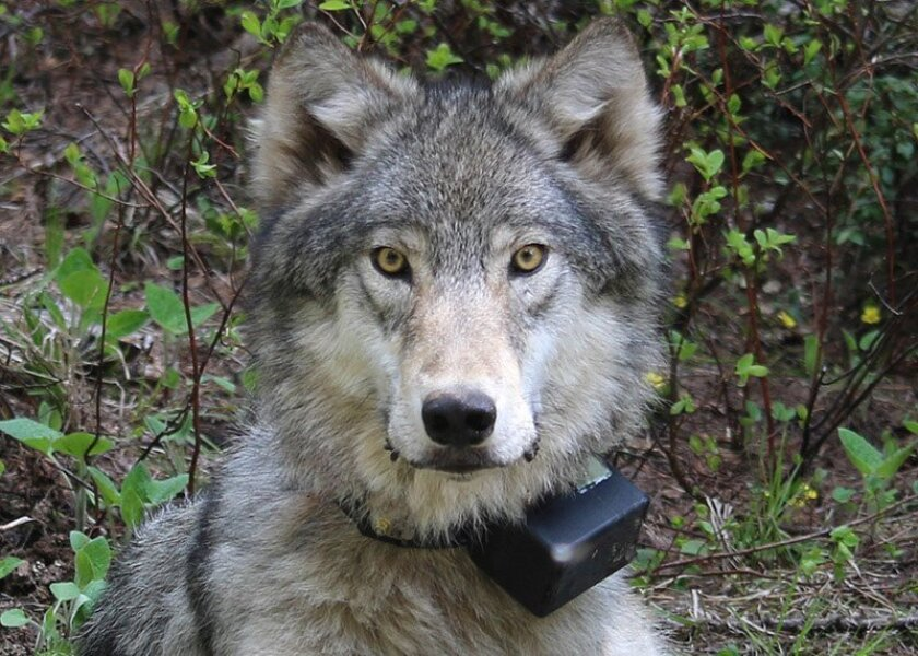 FILE - This March 13, 2014 file photo provided by the Oregon Department of Fish and Wildlife shows a female wolf from the Minam pack outside La Grande, Ore., after it was fitted with a tracking collar.  Eradicated in Oregon over half a century ago wolves are re-establishing a foothold. But their fr