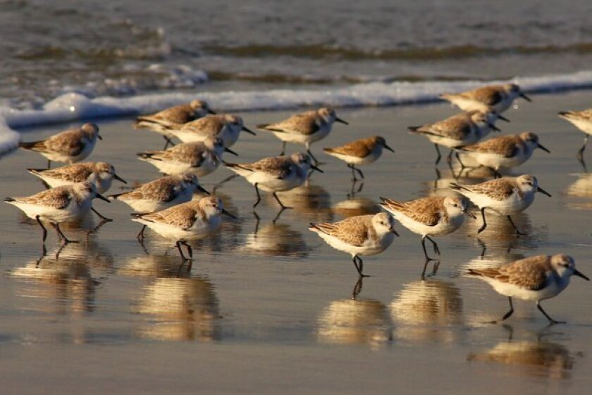 Sanderlings forage in the surf zone, running as a group. There is one smaller sandpiper in the midst of the sanderlings.