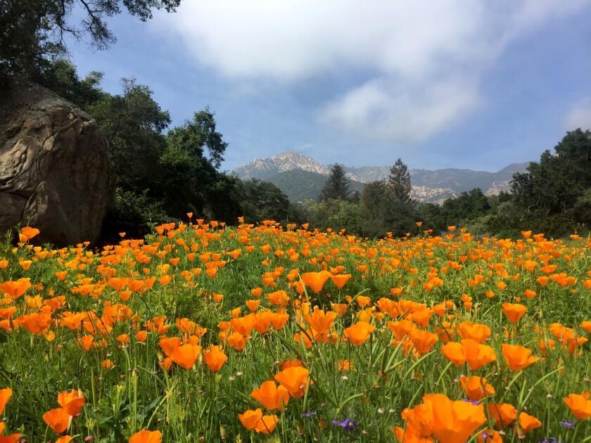 Santa Barbara Botanic Garden is having a good poppy season right now.