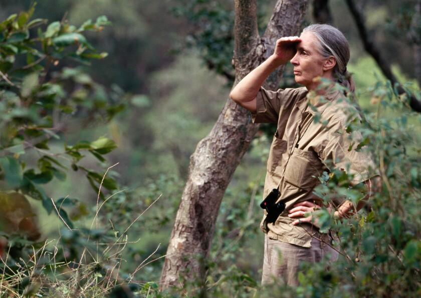 Primatologist Jane Goodall