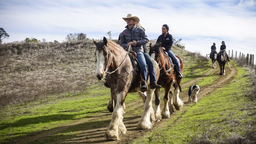 CAMBRIA, CA - January 19: Guests enjoy a trail ride at Covell's California Clydesdale Ranch. (Paul B