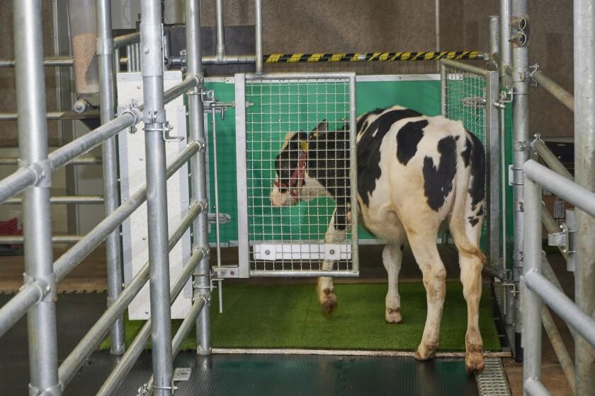 Una vaca entra a una jaula especial donde ha sido entrenada a orinar, como parte de un experimento