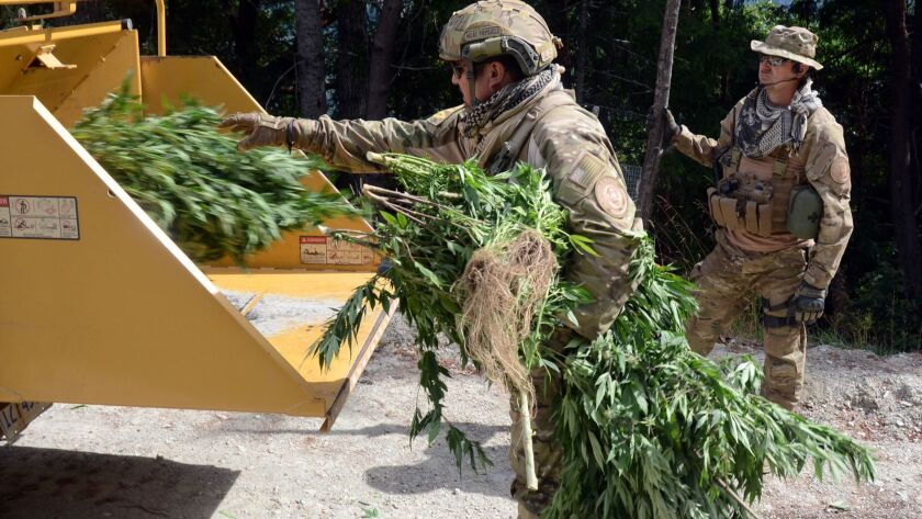 Humboldt County Sheriff's deputies and Bureau of Indian Affairs agents shred 204 cannabis plants.