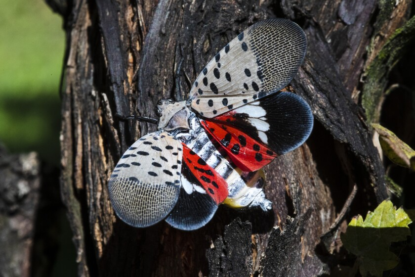 This Thursday, Sept. 19, 2019, photo shows a spotted lanternfly at a vineyard in Kutztown, Pa. The spotted lanternfly has emerged as a serious pest since the federal government confirmed its arrival in southeastern Pennsylvania five years ago this week. (AP Photo/Matt Rourke)