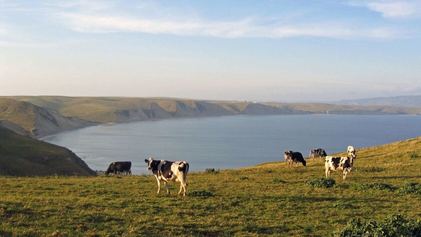 Cows out at pasture in West Marin, Calif. where Mindful Meats sources their cows.