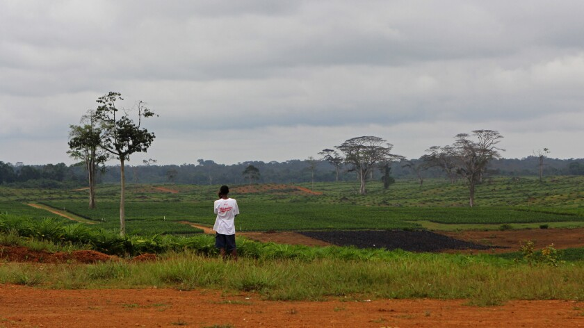 A palm oil plantation in Sinoe County, Liberia, is shown. Palm oil has been a flashpoint in Liberia, with the government giving international corporations license to establish industrial plantations and to handle the local communities as they see fit.